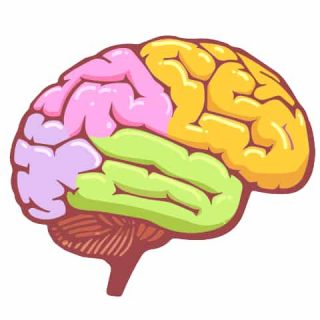 Brain diagram with five different colors on different regions - brain development