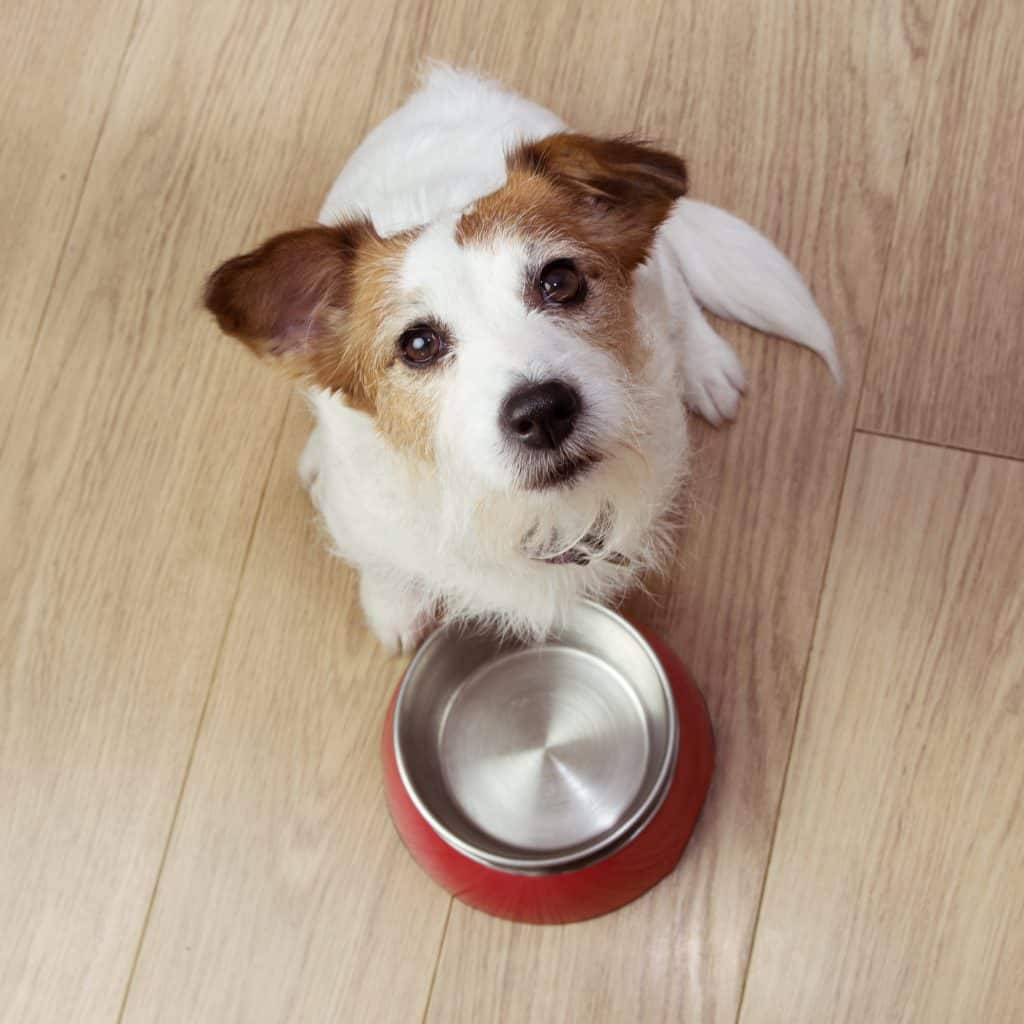Dog sits in front of an empty bowl looking at camera with extinction burst