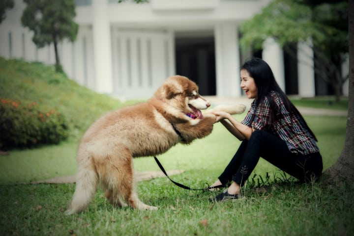 Woman happily plays with a big dog in a park. Training using fixed ratio reinforcement schedules can produce an obedient dog.