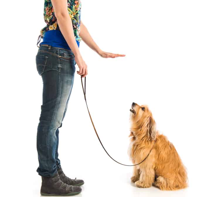 Woman trains dog not to jump up. Dog sits quietly and looks up to trainer who is using instrumental conditioning