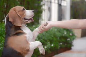 Beagle dog gives a paw to trainer - operant conditioning