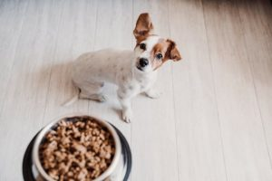 Dog looks up at bowl filled with food - spontaneous recovery
