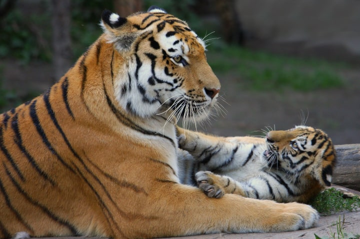 "Tiger parent carries her cub in mouth - symbolizing tough ""tiger mom parenting"""